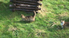 Two Cats Walking On Green Meadow Stock Footage