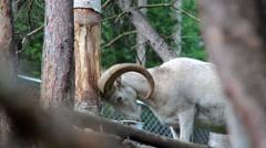 Rocky Mountain Bighorn Sheep Ram Stock Footage