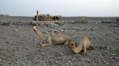 Afar village near salt lake, Ethiopia, Africa. camels Stock Footage