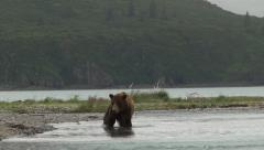 Grizzly Bear (Ursus arctos horribilis) at Katmai estuary. Stock Footage