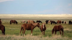 Wild Mustangs Stock Footage
