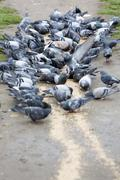 Stock Photo of Pigeons eating in the park