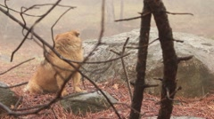 Red dog in the misty forest Stock Footage