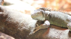 Iguana on a Log Stock Footage