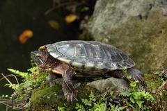 Tortoise sunbathing on the rock Stock Photos
