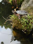 Tortoise craning its neck and sunbathing on the rock Stock Photos