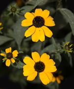 Yellow flowers with black center Stock Photos