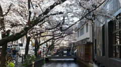 KYOTO, JAPAN - March 28, 2015: Cherry blossom on river side in Kyoto. Stock Footage