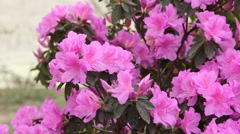 Close up of pink rhododendron flowers in the wind - stock footage