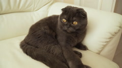 Portrait of a Scottish fold cat Stock Footage