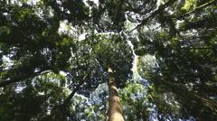 Dipterocarp Trees Kuala Lumpur Malaysia Asia Rainforest Stock Footage