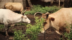 cattle cows west Africa village - stock footage