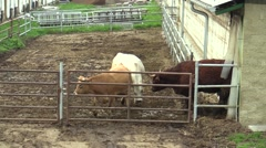 Cows in the Paddock, Fram (Europe) Stock Footage