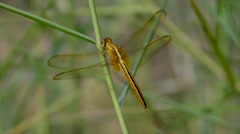 Dragonfly resting on wild grass in gentle wind Stock Footage