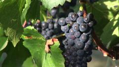 Ripe red wine grapes on the vine in a vineyard. Stock Footage