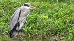 Grey Heron British Wildlife Stock Footage