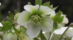 Close up of Woodland Spring Flowering White Hellebore – Garden Lenten Rose Stock Footage