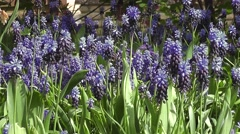 Beautiful Spring Flowering Blooms Grape Hyacinth Stock Footage