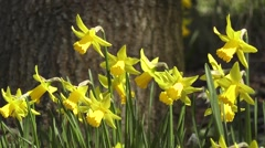 Golden Spring Flowering Woodland Daffodils Gently Nodding in the Wind - stock footage