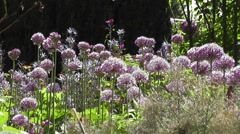 . Summer Flowering Alliums in Cotswolds Cottage Garden Blowing in the Wind Stock Footage
