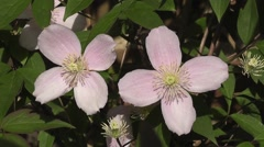 Pink Summer Flowers of Clematis Montana Stock Footage