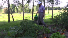 Senior gardener man with watering can water ripe tomato plants Stock Footage