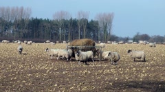Sheep grazing field farming agriculture Stock Footage