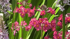 Summer Wildflower Meadow Primulas Stock Footage