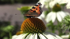 Butterfly Pollinating Summer Echinacea Flower - stock footage