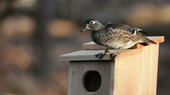Wood Ducks and nest box Stock Footage