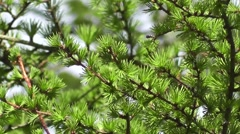 Fresh Spring Foliage-Leaves of Chinese Larch Tree Stock Footage