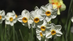 Spring Flowering Daffodils Gently Nodding in the Wind Stock Footage
