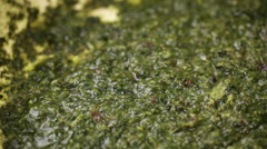 Bear's garlic pesto in frying pan - closeup Stock Footage