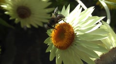 Close-up Bee Pollinating Summer Daisy Flower Stock Footage