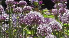 Summer Flowering Alliums in Cotswolds Cottage Garden Stock Footage