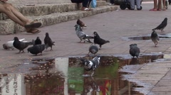 Pigeons Feeding South America Stock Footage