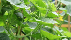 The cucumbers blossoming on a seedbed Stock Footage