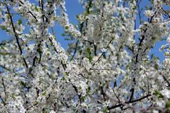 Stock Photo of Blossoming tree of plum