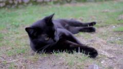 Cat plays with a dead mouse Stock Footage