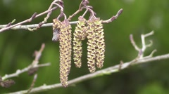 Winter Catkins of Alder Tree Gracefully Blowing in the Wind - stock footage