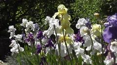 Summer Flowering Irises in the Famous Dyffryn Gardens Flag Border Stock Footage