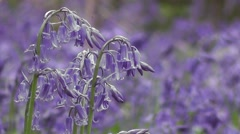 Close-up Wild flowering Spring Bluebells in an English Woodland Stock Footage