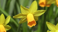 Bright Golden Daffodil Flower Gently Blowing in Spring Breeze Stock Footage