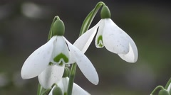 Spring Snowdrop Flowers up Close Stock Footage