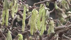 Winter Catkins of Unusual Corkscrew Hazel Tree Stock Footage