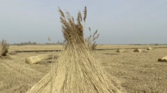 Cutted Phragmites drying on the land Stock Footage