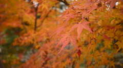 Autumn Leaves in Japan Stock Footage