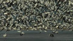 Flock of Snow Geese taking off,  real time with audio - stock footage