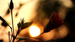Pink Hibiscus and Sunset Stock Footage