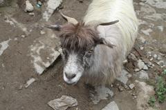 Ordinary goat Stock Photos
